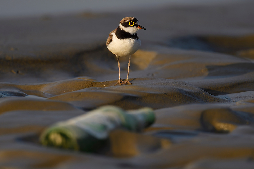 Little ringed plover and bottle, littering, Charadrius dubius, walking on wet sand beside an empty bottle Tongbiguan nature reserve, Dehong prefecture, Yunnan province, China
