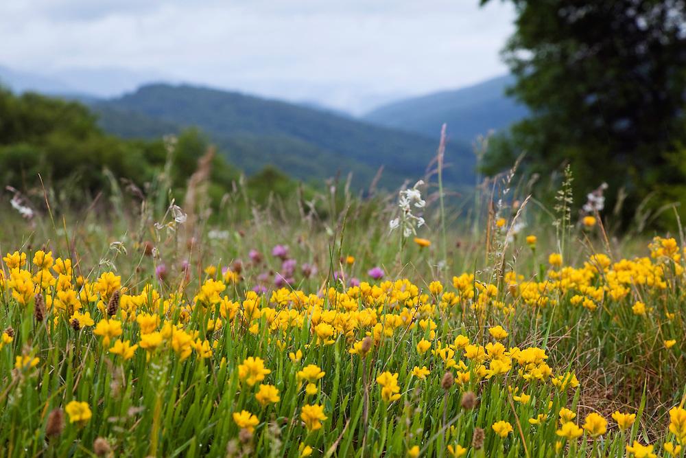 Broom, Genistella sagittalis, Poloniny National park, Western Carpathians, Slovakia, Europe