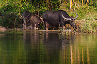 Water Buffalo on the Perfume River - The water buffalo Bubalus bubalis is a bovine found on the Indian subcontinent and Southeast Asia.  Water buffaloes are usually used for   tilling rice fields for which they are good at this task.   Their milk is said to be richer in fat than a dairy cow.