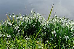 Gewoon sneeuwklokje, Galanthus nivalis