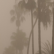 View through the fog of rows of palm trees lining a street..