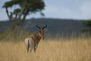 Swayne's Hartebeest, Alceluphus buselaphus swaynei, Senkele Wildlife Sanctuary, Ethiopia, Endemic, Endangered
