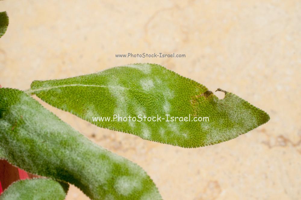 Powdery mildew on a leaf of  sage (Salvia) plant