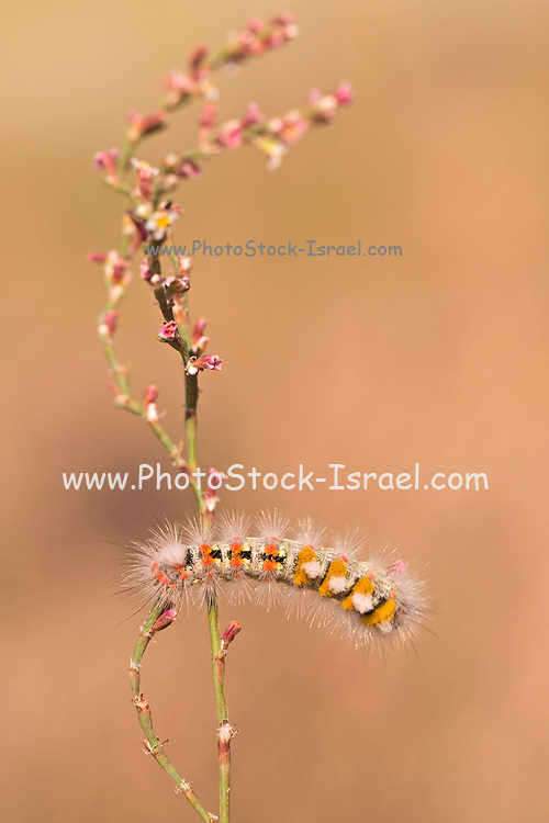 caterpillar of a tussock moth (Orgyia dubia). The caterpillar, or larval, stage of this species has a distinctive appearance of alternating bristles and haired projections, and has urticating hairs (hidden among longer, softer hairs) which can cause painful reactions if they come into contact with skin. Photographed in Israel In September