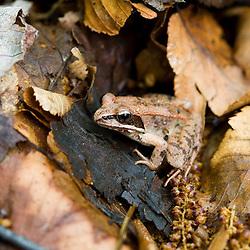 Wood Frog, Rana sylvatica, at the Mass Audubon Arcadia Wildlife Sanctuary in Northampton, Massachusetts.