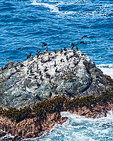 Brandt's Cormorant. Image taken with a Nikon D3s camera and 70-300 mm VR lens.