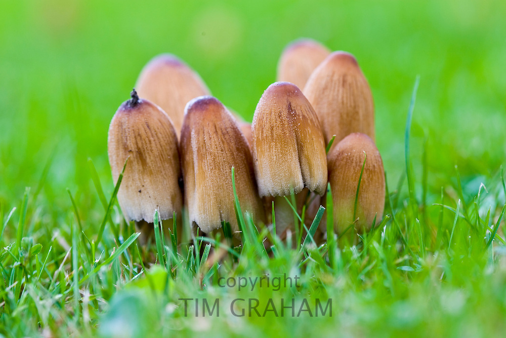 Wild mushrooms growing in the grass, United Kingdom