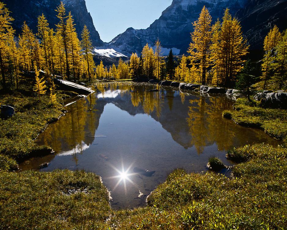 Opabian Plateau, autumn larch trees, Yoho National Park, British Columbia, Canada
