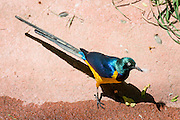 Golden-breasted Starling (Lamprotornis regius) is from East Africa. Photo in Woodland Park Zoo, Seattle, Washington, USA.