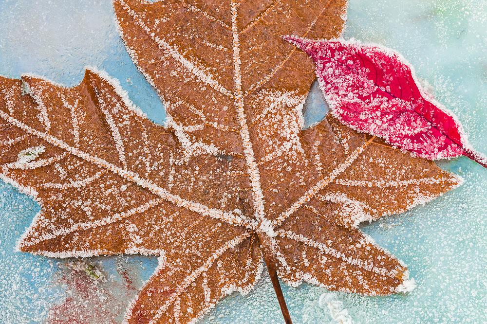 Poinsetta petal (Euphorbia pulcherrima), maple leaf and frost, overcast light, December, broken sheet of glass, Clallam County, Olympic Peninsula, Washington, USA