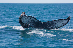A whale tail photographed near Barred Creek, north of Broome, Western Australia.