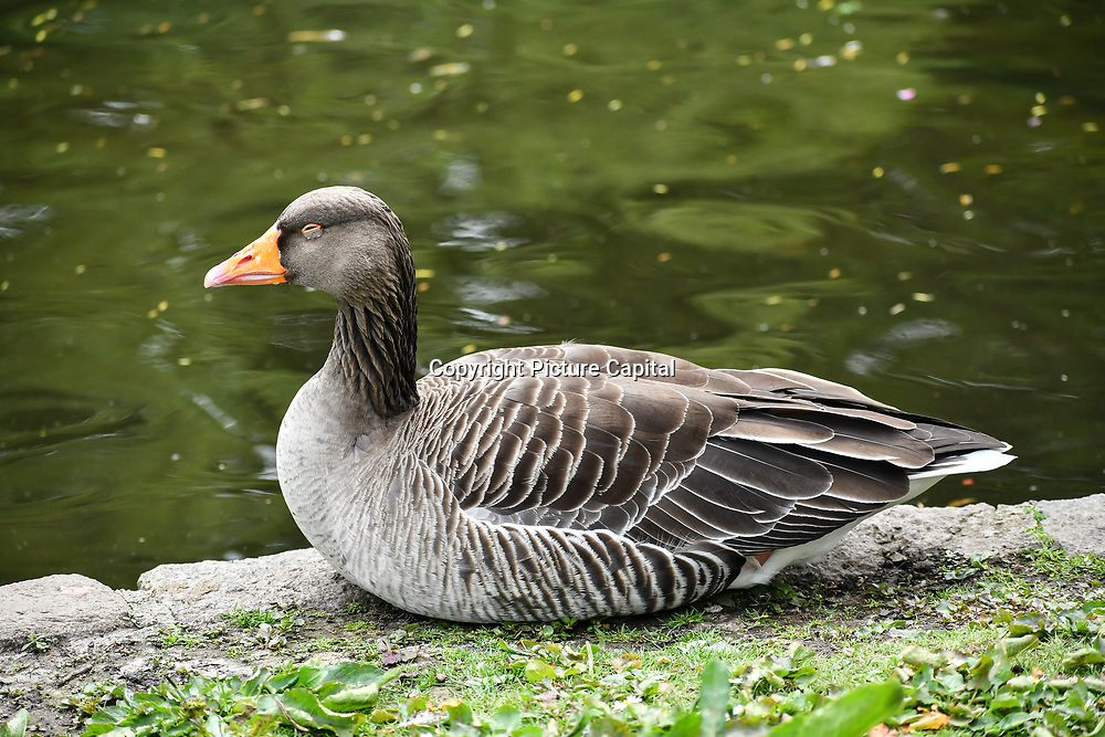 Greylag Goose at St James park and a lovely weather on 23 April 2019, London, UK.