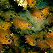 Orangelined Cardinalfish inhabit reefs. Picture taken Komodo, Indonesia.