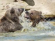 Otisville, New York - Bears play in the water at the Orphaned Wildlife Center on Sept. 7, 2016.