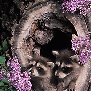 Raccoon, (Procyon lotor) Young in hollow log. Montana.  Captive Animal.