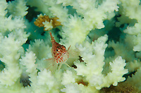 Coral Hawkfish (Cirritichthys oxycephalus)<br /><br />Canales de Afuera Islands<br />Coiba National Park<br />Panama