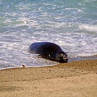 South America, Argentina, Valdes Peninsula. Sea Lion of the Valdes Peninsula.