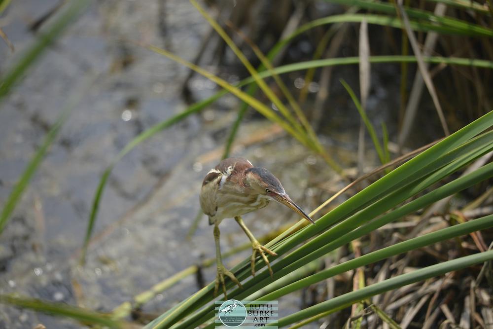 Coastal marshes on South Padre Island, Texas - habitat for birds Least Bittrrn, Ixobrychus exilis, (Ardeidae) Herons, Egrets and Bitterns <br /> <br /> Preferred Habitat:  Marshes