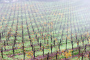 Stony Hill Winery vines, St. Helena, CA (Napa Valley) on a foggy December morning. Stony Hill Winery is known for producing fine white wines which are aged in oak barrels that have been used for as many as 30 years, thereby not adding much oak flavor at all to the wine..