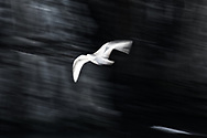 Kittiwake in motion blur as it flies against the backdrop of iconic cliffs of Alkefjellet in the Arctic.