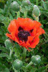 Papaver orientale 'Castagnette' - Oriental poppy