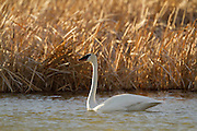 Trumpeter Swan, Montana