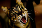 Close up of a green eyed cat with open mouth
