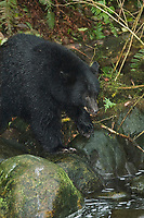 Black Bear (Ursus americanus), fishing for salmon while fattening for winter at Thornton Fish Hatchery, Thornton Creek, Ucluelet, Vancouver Island, Canada   Photo: Peter Llewellyn