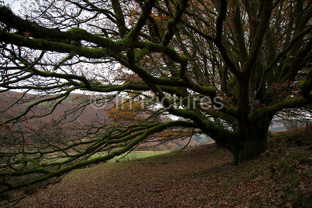 Moss covered oak tree in a moorland landscape in Llanafan Fawr, Powys, Mid Wales, United Kingdom.