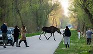 Turyści obserwują łosie przy Carskiej Drodze w BPN