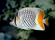 Merten's Butterflyfish, Chaetodon mertensii.  Indian Ocean colour form.