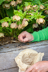 Collecting the last remaining hellebore seeds and putting them into a paper bag for storage