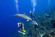 Willemstad, Curacao, Netherlands Antilles, April 2009. Dolphin Annie and her trainer George, of the Dolphin Academy,  entertain a group of divers in the Caribbean Sea. Annie was captured in the wild and trained, she loves to interact with divers and can take off any time if she chooses to. Photo by Frits Meyst/Adventure4ever.com
