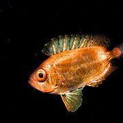 A juvenile soldierfish, possibly a Crescent-tail bigeye (Priacanthus hamrur) in the open ocean at night off Anilao, Philippines.