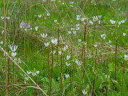 Image of Shooting Star (Dodecatheon meadia) growing in the University of Wisconsin Arboretum, Madison, Wisconsin, USA.