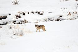 Grey Yellowstone Wolf, Lamar Valley, Yellowstone National Park