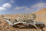 Namaqua Chamaeleon (Chamaeleo namaquensis) Namib Desert sand. Desert chameleon (Chamaeleo namaquensis)<br />