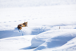 Cross fox relaxing by frozen beaver pond in Grand Teton National park