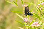 03004-01614 Pipevine Swallowtail (Battus philenor) on Swamp Milkweed (Ascelpias incarnata) Marion Co. IL