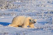 Polar Bear (Ursa maritimus) on sub-arctic Hudson Bay<br />Churchill<br />Manitoba<br />Canada