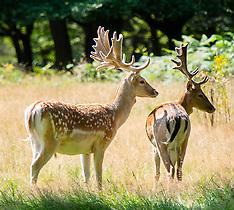 Richmond Park Deer 11th August 2021
