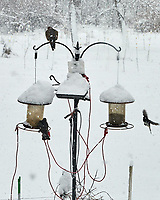 European Starling (Sturnus vulgaris). Image taken with a Leica SL2 camera and 50 mm f/1.4 lens.