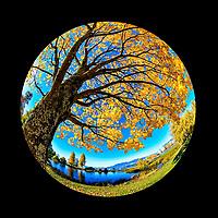 Kitsilano Fisheye:  An angular take of a solitary golden tree in Autumn, Kitsilano Vancouver British Columbia Canada.