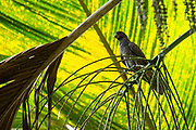 Seychelles black parrot, Praslin parrot or kato nwar (Coracopsis barklyi) is a sombre-coloured, medium-sized parrot endemic to the Seychelles.  It is the national bird of the Seychelles. Photographed in the Seychelles in October