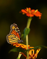 Monarch Butterfly working a late autumn wildflower. Backyard Nature in New Jersey. Image taken with a Nikon D4 camera and 80-400 mm VR telephoto zoom lens (ISO 250, 400 mm, f/5.6, 1/400 sec).