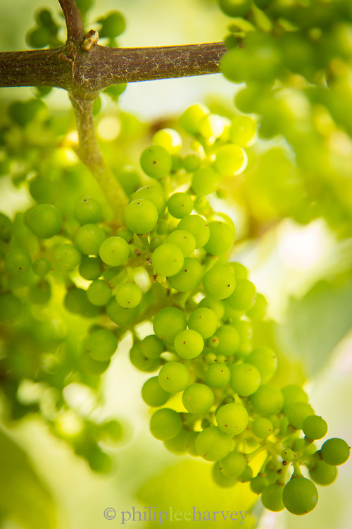 Close-up of green grapes, Trier, Germany