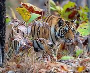 Female bengal tiger (Panthera tigris tigris) in the dense forest of Pench National Park, madhya Pradesh, India.