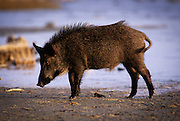 A feral pig (Sus scrofa) near the shallows of the Gulf Of Mexico. Aransas National Wildlife Refuge, Texas.
