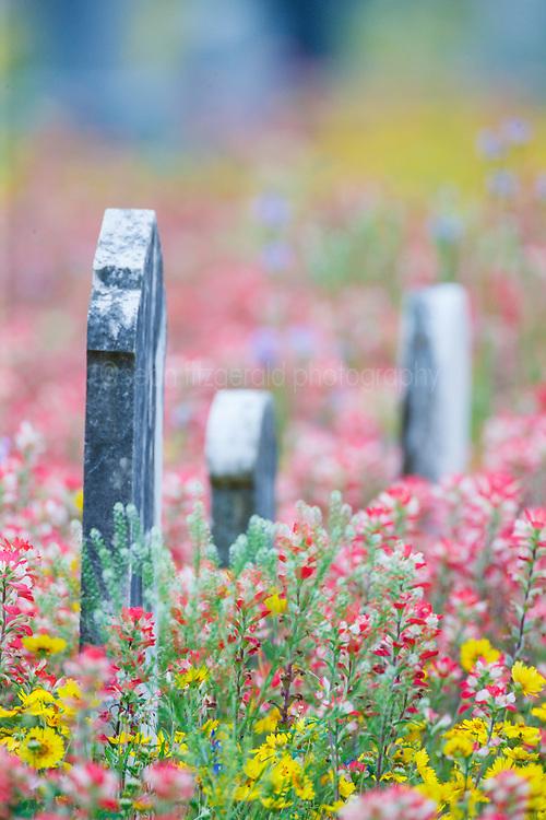 Wildlfowers in cemetery of  Christ Lutheran Church, Elm Creek, near New Berlin Texas outside San Antonio, USA.