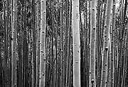 SHOT 7/16/11 12:40:51 PM - Aspen tree trunks in a massive grove in Durango, Co. Populus tremuloides is a deciduous tree native to cooler areas of North America. The species is referred to Quaking Aspen, Trembling Aspen, and Quakies, names deriving from its leaves which flutter in the breeze. The tree-like plant has tall trunks, up to 25 metres, with smooth pale to white bark, scarred with black. The glossy green leaves, dull beneath, become golden to yellow in autumn. The species rarely flowers, often propagating through its roots to form large groves. It propagates itself primarily through root sprouts, and extensive clonal colonies are common. (Photo by Marc Piscotty / © 2011)